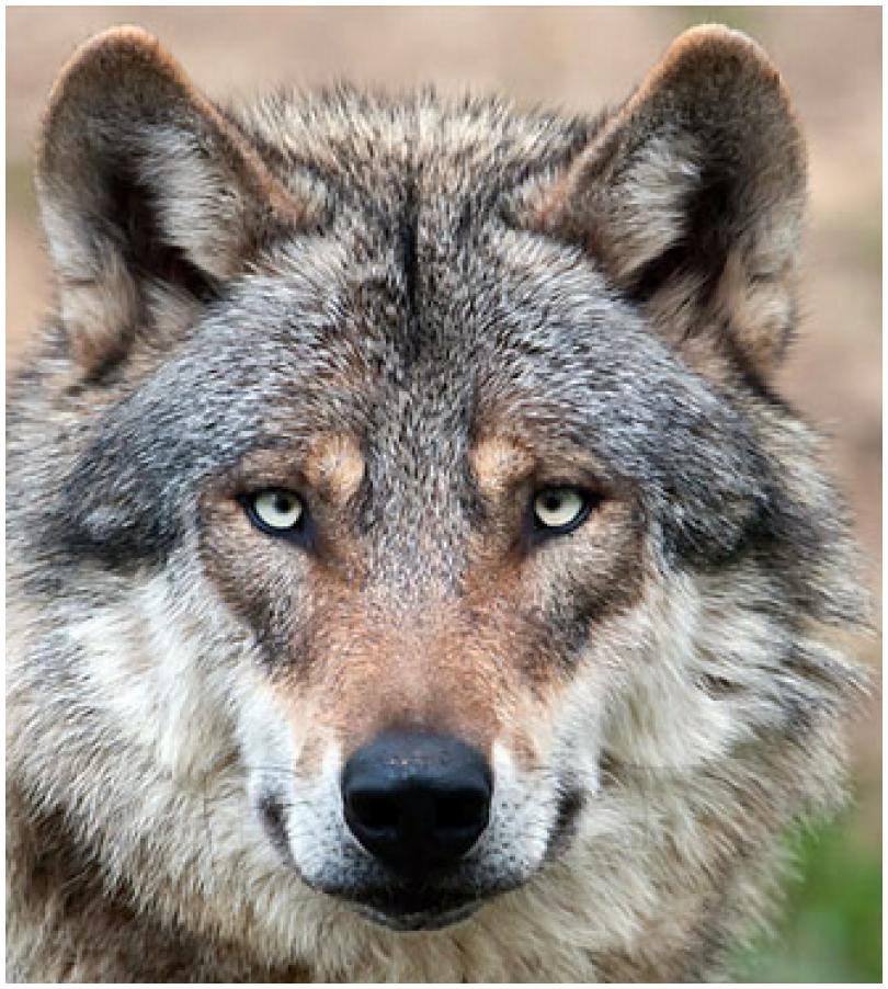 Gedicht Die Rückkehr Der Wölfe Natur Gedichtesammlungnet