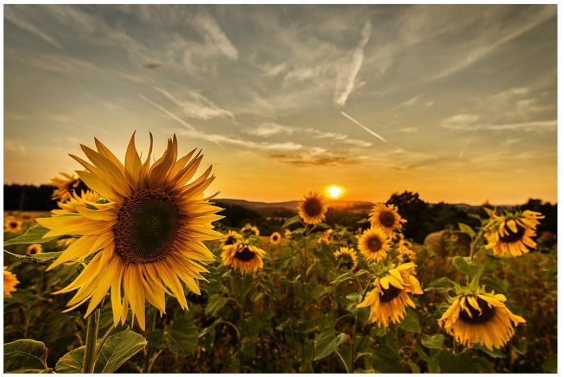 Gedicht Zauberhafte Sonnenblumen Natur